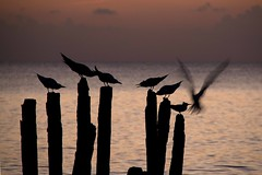 Sleeping terns (ramosblancor) Tags: sleeping sea naturaleza nature birds evening mar dusk wildlife cuba royaltern aves animales anochecer caribe caribean durmiendo maralagorda darkening thalasseusmaximus charrnreal thamax