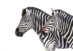 Zebras (Louisedemasi) Tags: africa nature animal stripes wildlife zebrapainting zebraszebra zebrawatercolour