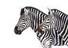 Zebras (Louisedemasi) Tags: africa nature animal stripes wildlife zebrapainting zebraszebra zebrawatercolour