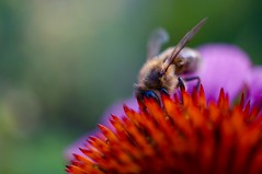 Bee & echinacea (fxdx) Tags: bee close garden macro home nex6 echinacea