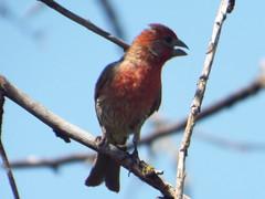 House Finch, July 23, 2016 (gurdonark) Tags: bird birds wildlife limestone quarry park frisco texas house finch tags birdbirdswildlifelimestonequarryparkfriscotexashousefinch