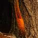 Foxtail Lily - Washington