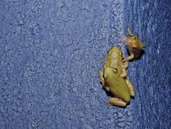 The Frog Hatchery 2 - Macro Mondays - July 11, 2016 (DarkOnus) Tags: blue macro green texture pool closeup swimming lumix paint pennsylvania gray cement frog panasonic textures tadpoles monday 2d eastern treefrog buckscounty tadpole mondays hatchery flickrphotowalk macrotextures macromondays dmcfz35 darkonus thefroghatchery
