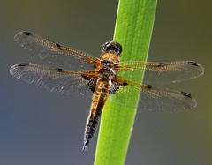 Four-spotted Chaser (Lutra56) Tags: fourspottedchaser libellulaquadrimaculata odonata dragonfly dragonflies canon300mmf4l insects macro closeup snakeholmepit lincolnshire