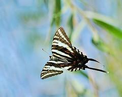 AFC_4070_8x10 (thorntm) Tags: butterfly soe zebraswallowtail zebraswallowtailbutterfly flickrestrellas nikond800 mdtpix t16070901