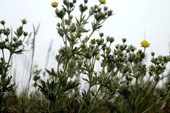 Ein Hahnenfu (?) am Stettiner Haff in Kamminke; Usedom b (361) (Chironius) Tags: usedom mecklenburgvorpommern meklemburgiapomorze uznam deutschland germany allemagne alemania germania    ogie pomie niemcy pomienie blte blossom flower fleur flor fiore blten    gelb ranunculales hahnenfusartige ranunculaceae hahnenfusgewchse ranunculoideae ranunculeae ranunculus hahnenfus unidentifiedplant