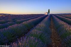 Valensole lavender field (renan4) Tags: lavande lavender field valensole provence blue purple violet flowers fleurs champs sunset sunrise france sud travel trip europe nikon d800 1635mm renan4 renan gicquel landscape