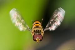 Hoverfly (Shane Jones) Tags: macro bug insect fly wings nikon hoverfly compoundeye macrolicious tamron180mmmacro macrophotosnolimits macromarvels macrolife pk3extensiontube d7200 pk3x2