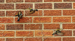 Goldfinches... (petegatehouse) Tags: flying goldfinch bricks yellowflash gripping goldfinches sideofhouse smallsongbird colourfulfinch