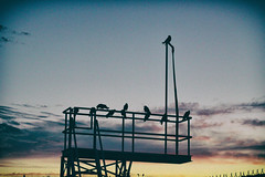 Crows at dusk. (annapolis_rose) Tags: burnaby crows dusk