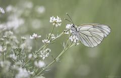 Black-veined White (Aporia crataegi) ((Ruud) Reddingius) Tags: blackveinedwhite grootgeaderdwitje drôme butterfly butterflies vlinder papillon aporiacrataegi ef70200mmf4lisusm canoneos5dmarkiii die