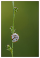 Waiting for the great leap forward (Outlaw Pete 65) Tags: flower macro nature closeup italia colours snail natura fiore colori lombardia chiocciola sigma105mm collebeato nikond600