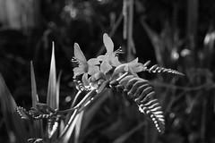 Crocosmia (jamcconahay) Tags: crocosmia crocosmialucifer flower