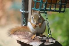 Red Squirrel at the Birdfeeders (Saline, Michigan) - July 16 & 17, 2016 (cseeman) Tags: squirrel michigan birdfeeder feeder perch hungry saline redsquirrel squirrelfeeder redsquirrel07172016