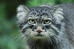 Pallas's cat (K.Verhulst) Tags: pallasscat pallascat manoel manul cats pallaskat kat blijdorp blijdorpzoo diergaardeblijdorp rotterdam cat