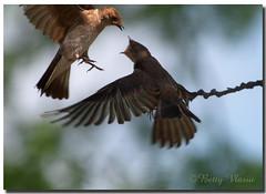 Northern Rough-winged Swallow (Betty Vlasiu) Tags: northern roughwinged swallow stelgidopteryx serripennis bird nature wildlife