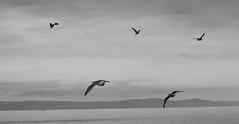 The circling gulls (Rebekah *) Tags: elements gulls seagull sea birds flying coast blackandwhite monochrome blackwhite outdoor flight wales southerndown nature hills