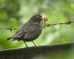 What a catch! (hedera.baltica) Tags: kos turdusmerula blackbird eurasianblackbird commonblackbird koszwyczajny