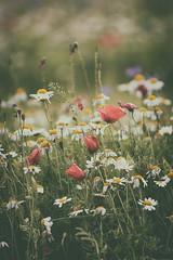 Fiori (P) Tags: fiori umbria castelluccio norcia italia italy flowers