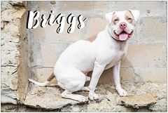 Briggs (living_dead_babe) Tags: bully dog breed charity animal woof
