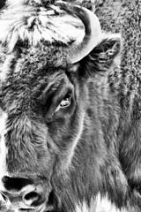 Korkeasaari - Bison 2 (Elena Delahaye) Tags: finland nature helsinki island sea north scandinavia suomi