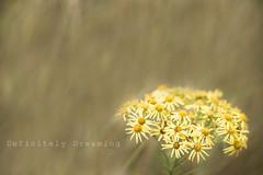 Pretty Poisonous (DefinitelyDreaming) Tags: ragwort weed pretty poison harmful nature macro sonya99