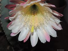 Un Fiore d'Agosto (Paolo Bonassin) Tags: flowers cactaceae cactacee cactus succulente cereus cereusperuvianus