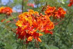 Red Bird of Paradise (davearrrrr) Tags: phoenix tempe arizona flower