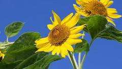 201608_20_2560 (noriko_v) Tags: sunflower flower summer nature