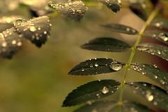 forgiveness (joy.jordan) Tags: raindrops leaves texture light bokeh summer