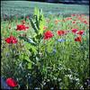 Poppy Field Messdorf, Bonn (tessar_man) Tags: flowers solida iii radionar classic folders