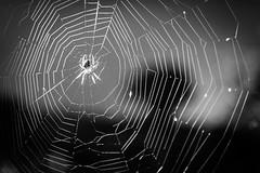 I hate spiders (Capture the planet) Tags: spider fx d810 fullfame nikon nikkor photography flickr bw blackandwhite monochrome blackwhite tonal contrast outdoors bokeh camera photographer 35mmf14g web wildlife fear scare arachnaphobia fav10 fav25