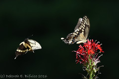 Courtship Flight (dbifulco) Tags: andover courtship flower garden giantswallowtailbutterfly insects lobelia nature newjersey nikkor300f4pfed pair red two wildlife