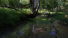 that little pond in the woods (lunaryuna) Tags: england wiltshire newforest langleywood ancientoakforest forest woods forestinterior trees pond reflections landscape light shade nature summer season seasonalbeauty luanryuna lunaryuna