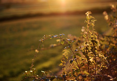 Evening's Golden Glow (janroles) Tags: dof evening summer countryside landscape bokeh serene fields hedge england gold sunset nature light flickr backlit leaves bramble golden canoneos400d flora scenery rural