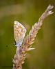 Common Blue (f) (ABPhotosUK) Tags: animals butterflies canon commonblue dartmoor devon ef100400mmisii eos7dmarkii invertebrates lepidoptera lycaenidae macro nocrop polyommatusicarus wildlife