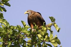 Milano Negro (magomu) Tags: milano negro black kite rusinga kenya kenia africa sigma150600contemporary milvusmigrans