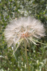 20160730-IMG_6003 (Photo Granny) Tags: dandelion weed makeawish