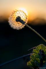 DSC_0335 (Marlon Fried) Tags: pusteblume lwenzahn macro makro dandelion lionstooth sunset sonnenuntergang