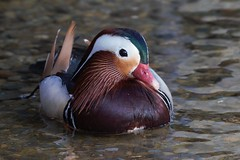 Mandarin duck (Aix galericulata) (Steve Attwood) Tags: auldwoodphotography newzealand canon mandarinduck aixgalericulata duck drake lakerotoiti