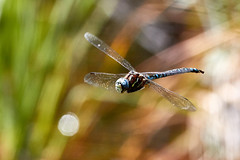 Blue Dragonfly (A.Connah) Tags: banff banffnationalpark canada vermillionlakes dragonfly insect flight flyig