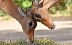 Tête-à-Tête (karinrogmann) Tags: impala antilopen kölnerzoo kopfankopf testaatesta headtohead