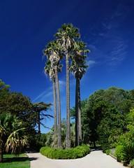 Hyres les Palmiers (marc.fray) Tags: parcolbiusriquier palmiers hyres hyreslespalmiers jardin parc palms garden garten palmen park botanicalgarden olbiushippolyteantoineriquier var provence paca france