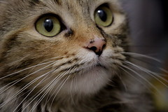 """Whiskers on kittens..."" (y_egan) Tags: favoritethings cat whiskers kitten yoshikoegan chia rescue canoneos"