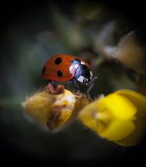 7 spot (cmwild31) Tags: ireland red yellow insect ladybird ladybug gorse laois