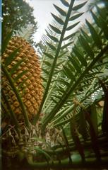 1734x2716x2 (stratski) Tags: cone seeds cycad 101pics201568