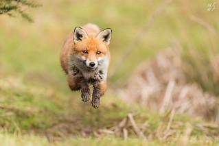 Red Fox Leap