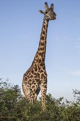 Y1A0938 Nairobi (Ninara) Tags: kenya nairobi giraffe nairobinationalpark