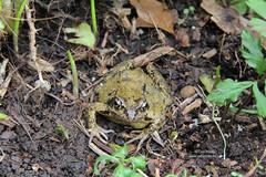 Frog in the garden (Owl Prints) Tags: mygarden frog gardenwildlife