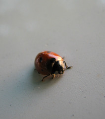 Nice guest (Sara_Ly) Tags: macro nature insect ladybird ladybug creature